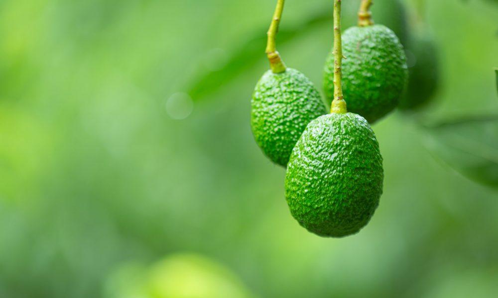 fresh avocados online