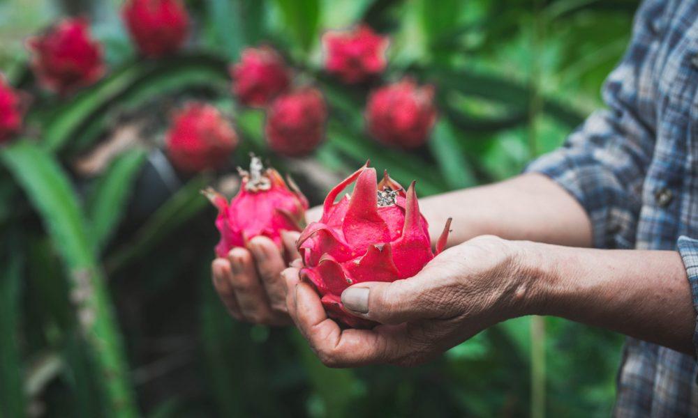 buy dragon fruit online